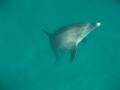 Delpin kommt zur Wasseroberfläche