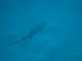 Unter uns ein Riffhai
