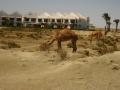 Kamele zu Besuch
