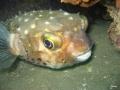 Igelfisch schaut aus Höhle