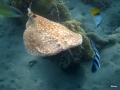 Torpedo- oder Zitterrochen am Riff