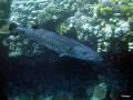 Barracuda am Banana Riff