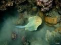 Blaupunktrochen am Riff
