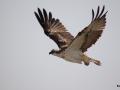 Fischadler im Anflug