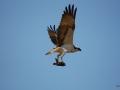Fischadler mit Beute im Flug