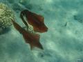 Zwei Großflossen-Riffkalamar