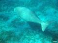 Dugong an den Seegraswiesen vorm Lahami