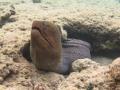 Muräne schaut aus dem Riff