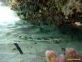 Kleines Teppichkrokodil liegt unter dem Korallenriff.