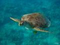 Schildkröte will Luftholen
