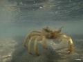 Lahamikrabbe unter Wasser