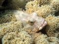 Barsch in Korallen