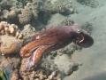 Krake schwimmt zum nächsten Korallenblock