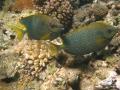 Kaninchenfische
