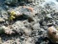 Krokodilfisch schläft am Riff