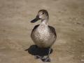 die Lahami-Ente watschelt am Nordstrand