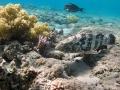 Malabarbarsch am Riff