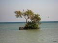 Mongroven im Meer mit Fischadler