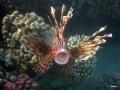 Rotfeuerfisch reißt das Maul weit auf