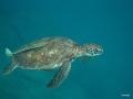 Schildkröte mit Halter