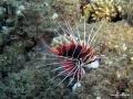 Strahlenfeuerfisch