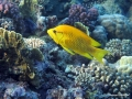 Stülpmaul-Lippfisch
