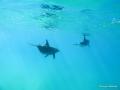 Delphine ziehen weiter