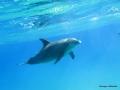 Ein Delphin schwimmt vorbei