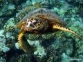 Schildkröte steigt zur Wasseroberfläche
