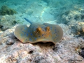 Blaupunktrochen gleitet am Riff