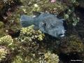 Schwarzfleck-Kugelfisch