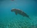 Dugong nähert sich