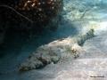 Teppichkrokodilfisch ruht am Riff