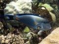 Arabischer Doktorfisch am Riff