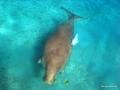 Dugong von oben