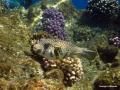 Kugelfisch weißfleck