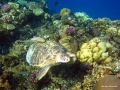 Schildkröte am Riff