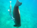 Dugong taucht ab