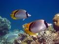 Riesen-Falterfische