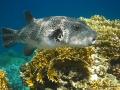 Riesen-Kugelfisch scheu