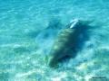 Dugong mit Schildi