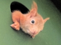Junges Eichhörnchen lugt aus dem Kobel