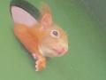 Eichhörnchen schaut in die Umgebung