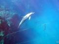 Delphin am Taucherseil