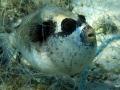 Masken-Kugelfisch im Netz gefangen.