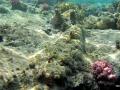 Teppichkrokodilfisch liegt müde im Riff