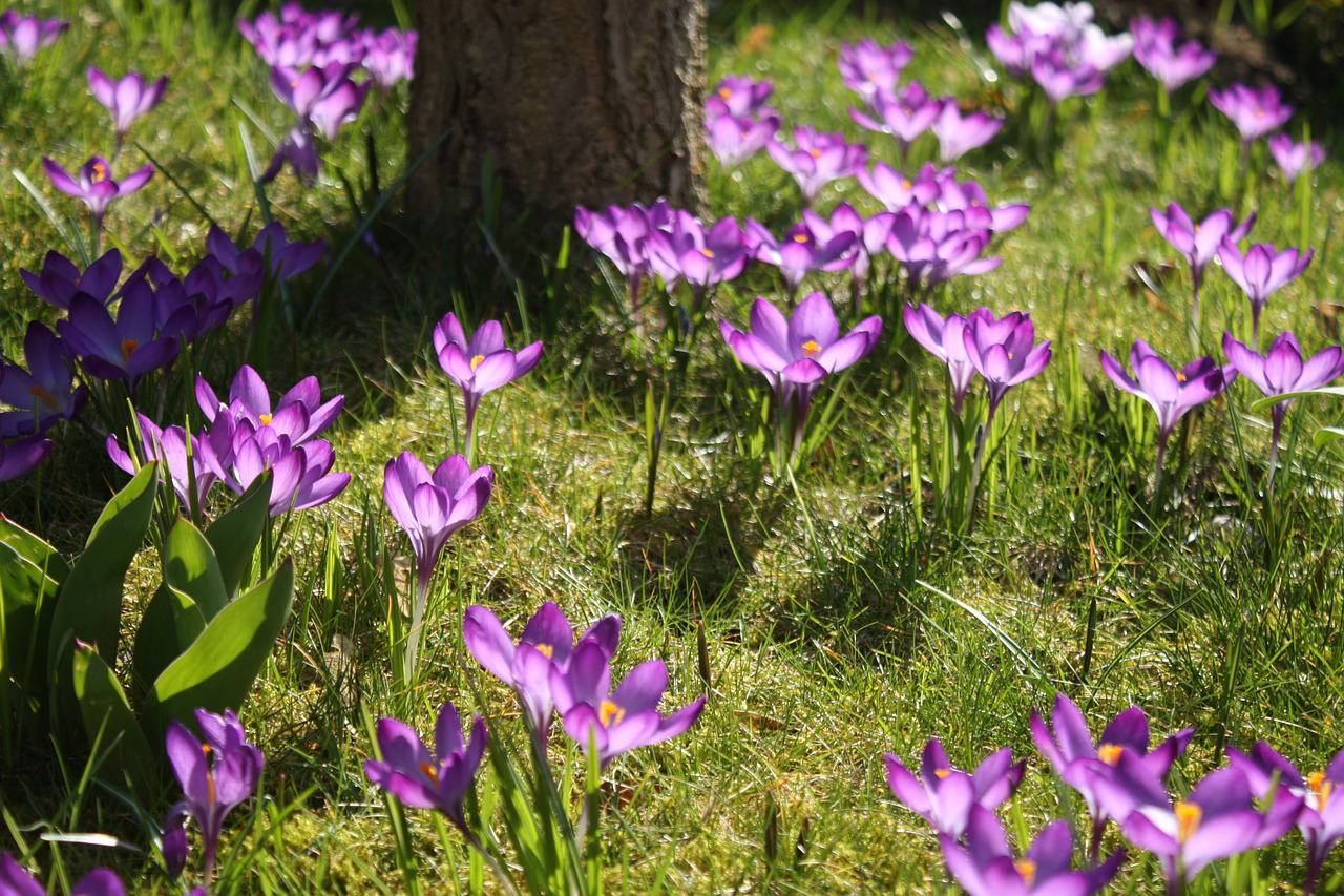 Krokuse im Frühling