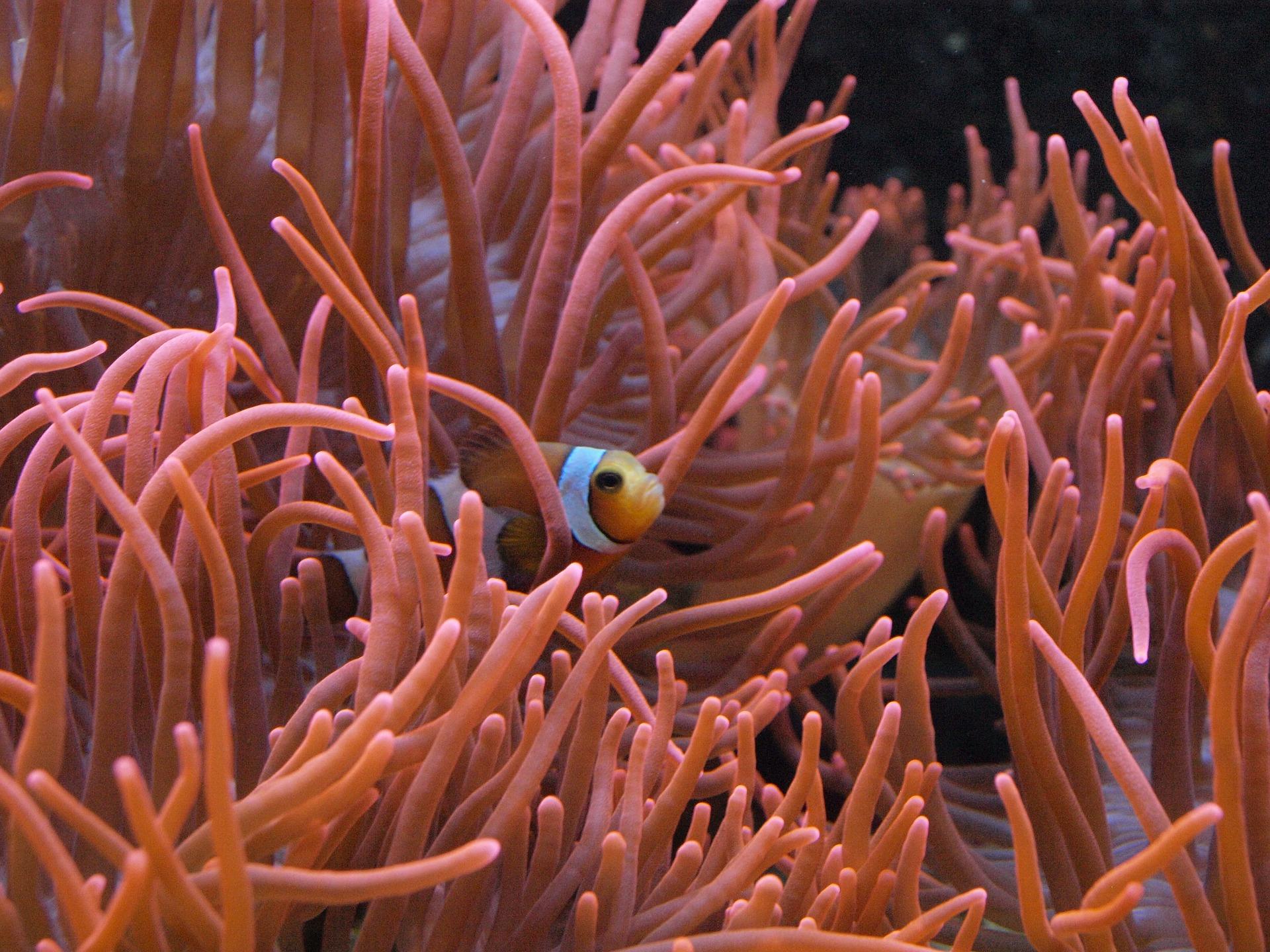 Nemo - Clownfisch