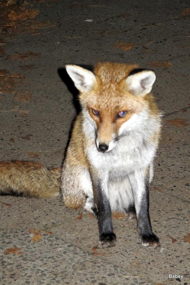 Der Fuchs sitzt vor unser Haustür im November