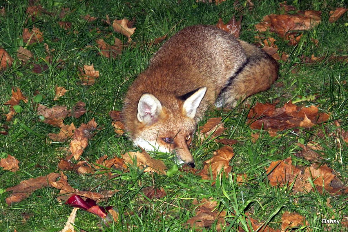 Der Fuchs will ein fotoshooting